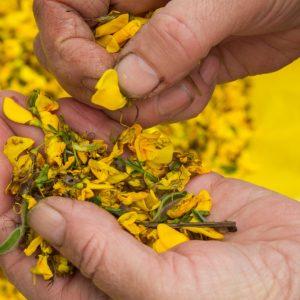 Żółte płatki kwiatów na dłoni